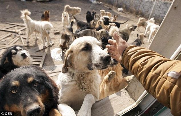 Všichni psi nejrůznějších plemen mají Wanga rádi stejně tak, jako on je.
